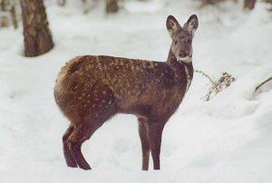 Russian Fanged Deer
