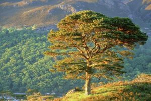 Scots Pine Pictures