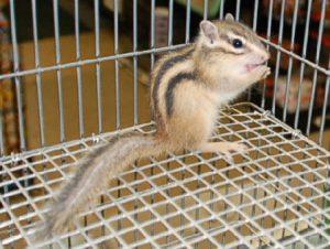 Siberian Chipmunk Pet