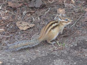 Siberian Chipmunk Tail