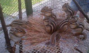 Siberian Chipmunks