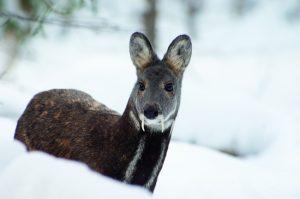 Siberian Deer