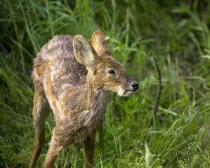 Siberian Musk Deer Baby
