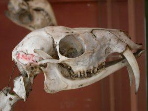 Siberian Musk Deer Skull