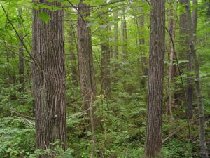 Swamp Cedar Trees