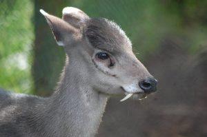 Tusked Deer