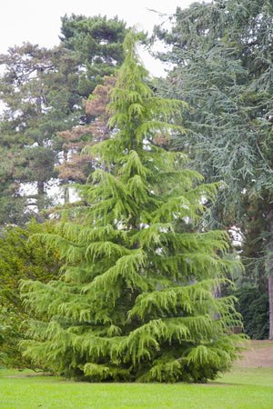 Deodar Cedar Growth Rate Cones Varieties