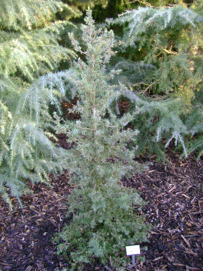 Dwarf Cedar Tree Varieties ~ Deodar cedar growth rate cones varieties
