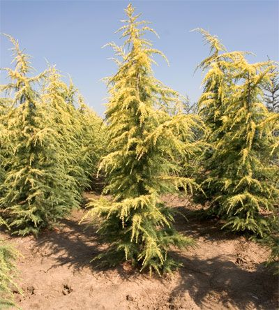 Deodar Cedar Growth Rate Cones Varieties Otherinformation