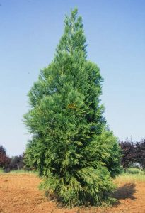 Japanese Cedar Pictures