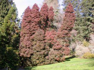 Japanese Red Cedar