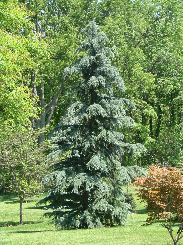 Blue Cedar Tree Varieties ~ Deodar cedar growth rate cones varieties