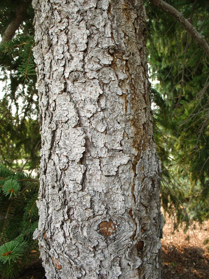Norway Pine (Red Pine) Tree Facts, Identification, Habitat ...