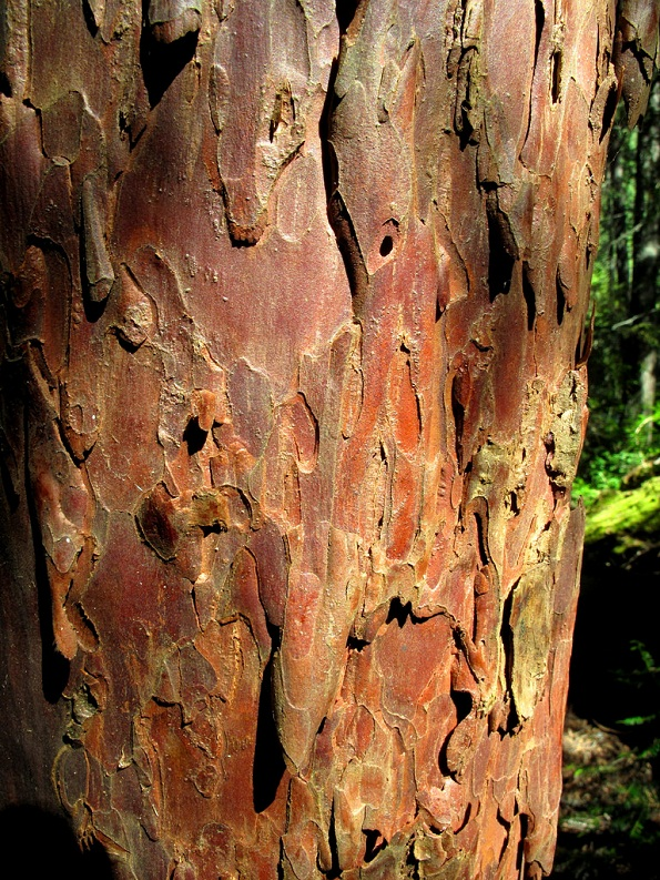 Pacific Yew Taxus Brevifolia Tree Facts Identification