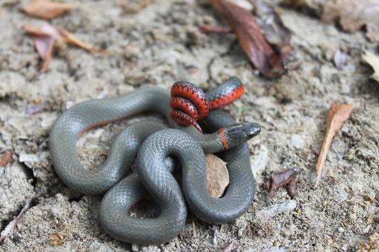 Northern Ring Necked Snake Venomous