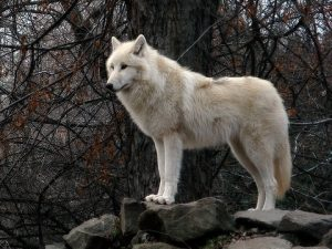 Tundra Wolf Facts Adaptations Pictures Coniferous Forest