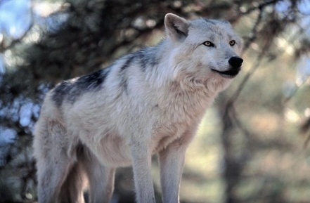 Tundra Wolf Facts Adaptations Pictures