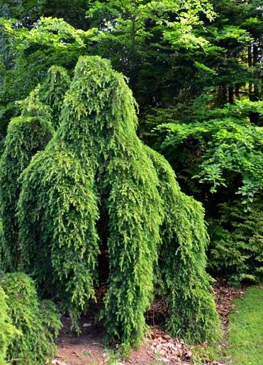 Deodar Cedar Growth Rate Cones Varieties Otherinformation