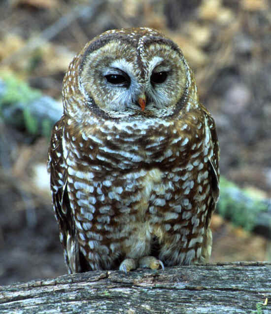 Mexican Spotted Owl Facts Habitat Diet Pictures