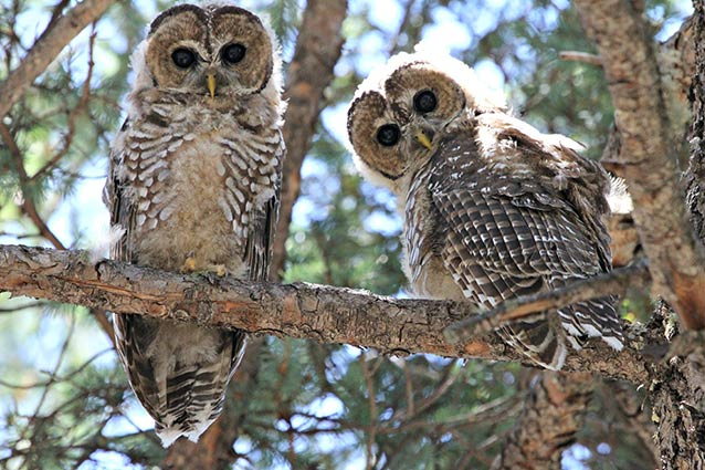 Mexican Spotted Owl Fa...