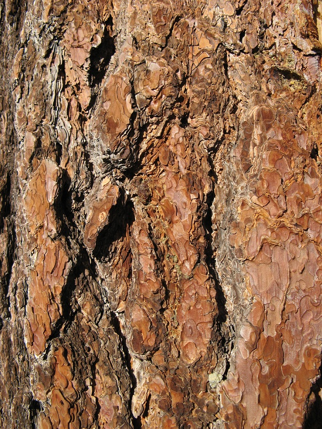 Sugar Pine Tree Facts Identification Distribution Pictures