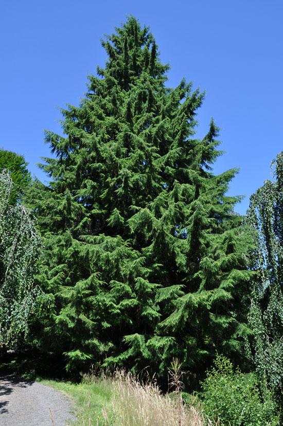 RealWeb Marketing Client News: BigTrees.com: Landscaping ... |Washington Evergreen Trees