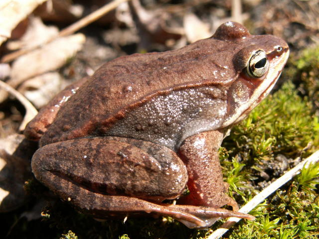 Alaskan Wood Frog Facts Habitat Diet Adaptations Pictures