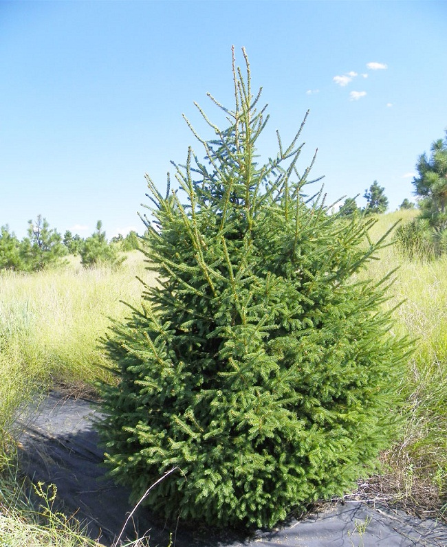 Habitat Christmas Trees: White Spruce (Picea Glauca) Tree Facts, Habitat, Uses