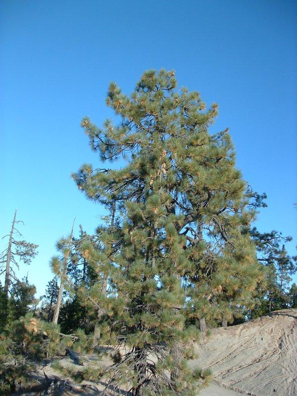 Coulter Pine Tree Facts Distribution Uses Pictures