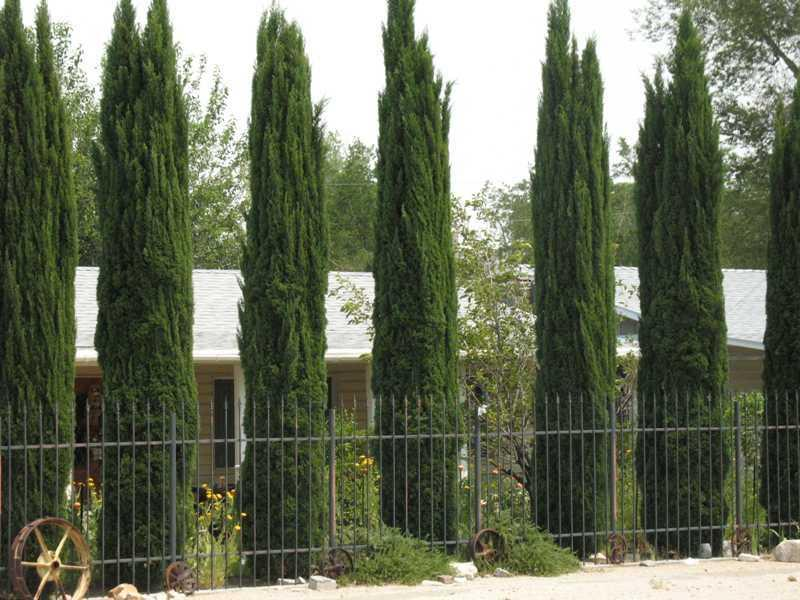 italian cypress tree facts cultivars growth rate. Black Bedroom Furniture Sets. Home Design Ideas