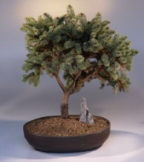 White Spruce (Picea glauca) Tree Facts, Habitat, Uses ...
