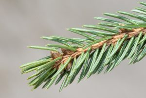 White Spruce Picea Glauca Tree Facts Habitat Uses