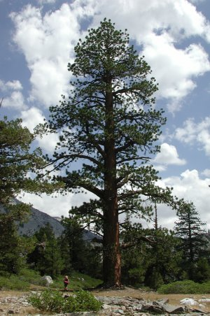 Jeffrey Pine Pinus Jeffreyi Tree Facts Habitat Pictures