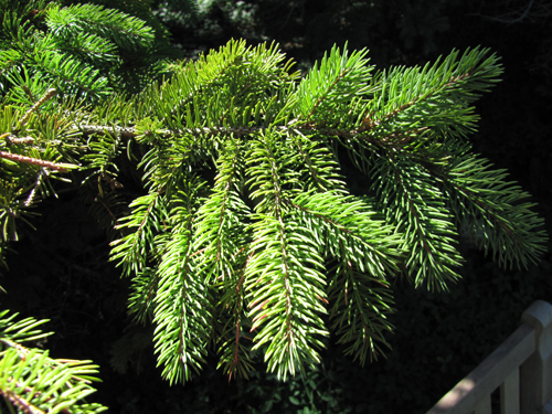 Red Spruce Tree Facts, Identification, Range, Uses ...