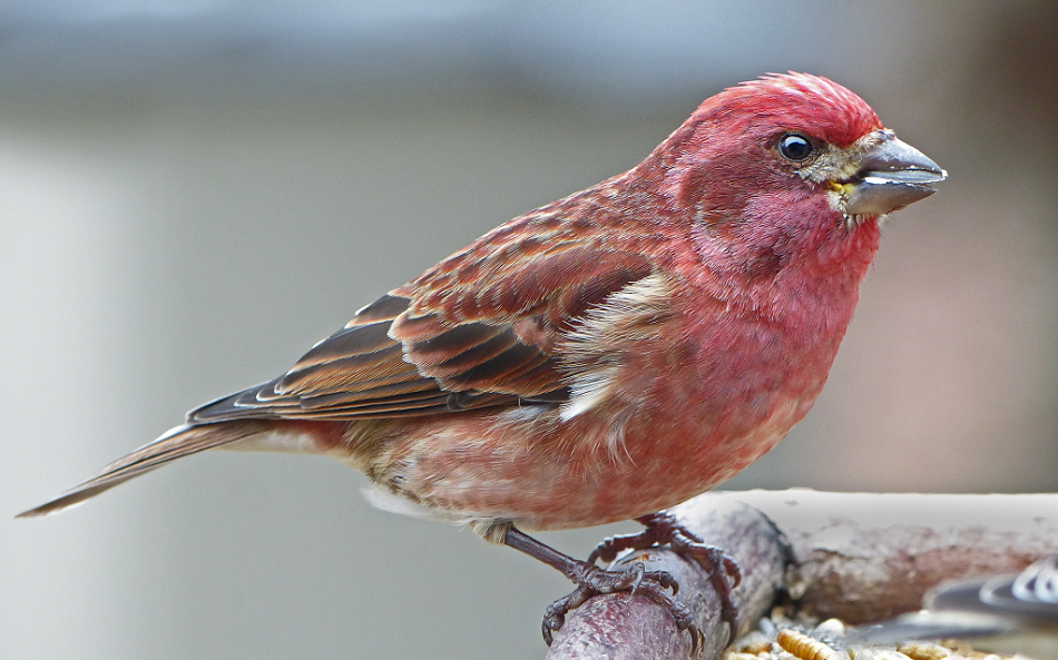 Purple Finch Facts, Habitat, Sounds, Diet, and Pictures