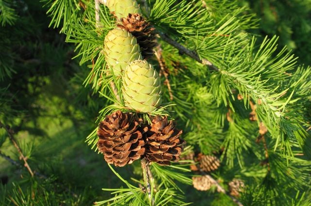 Tamarack Facts Growth Rates Lifespan Pictures