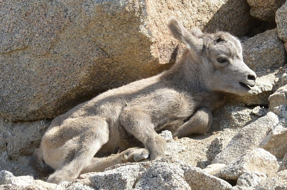 Bighorn Sheep Facts Distribution And Habitat Lifespan Diet And Pictures