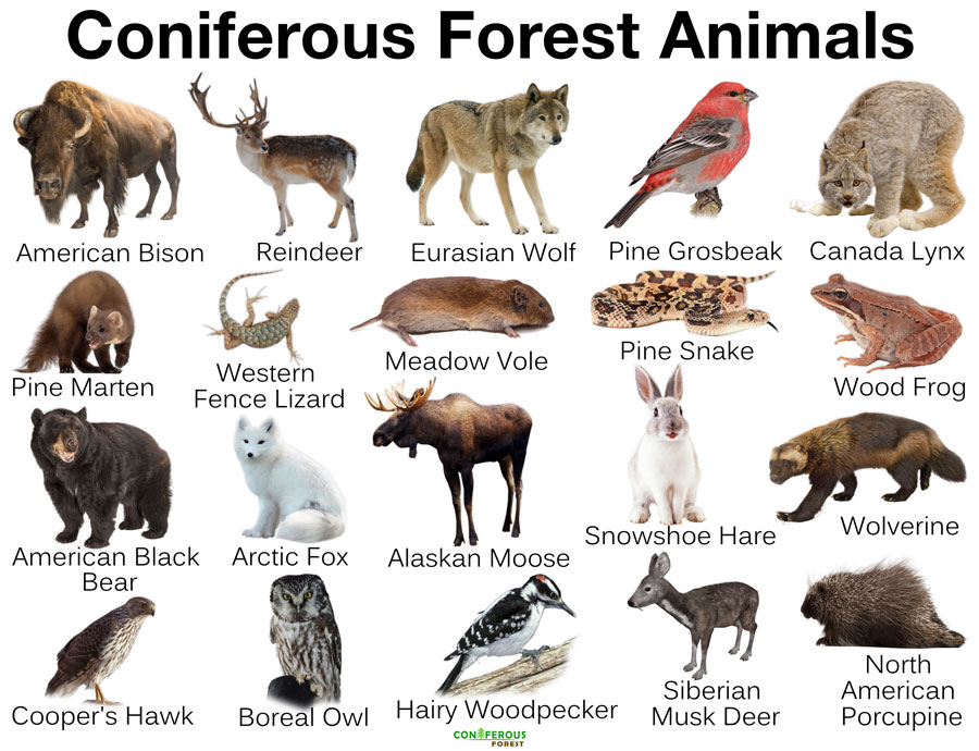 animals forest coniferous facts