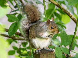 Eastern Gray Squirrel Facts Range Diet Call Lifespan