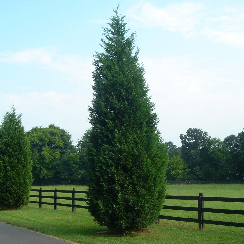 Cypress Tree Facts Types Identification Diseases Pictures